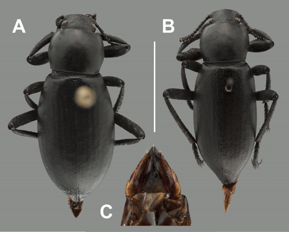 Images of Eleodes inornatus type specimens